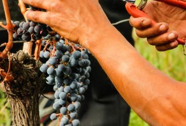 Vendanges 2016 Vignobles Bardet, Vignes
