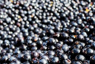 Fermeture de la grappe Vignobles Bardet Saint-Emilion Grand Cru