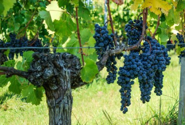 Grappes de raisin Vendanges