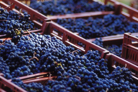 La vie du vignobles après les vendanges , Saint-emilion grand cru